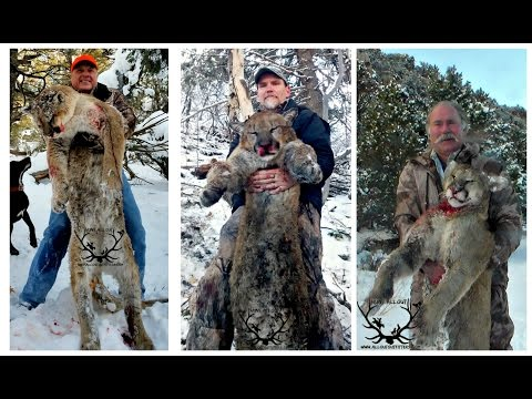 Chasing Toms Version 2 ( Guided Mtn Lion Hunts With Allout Outfitters)
