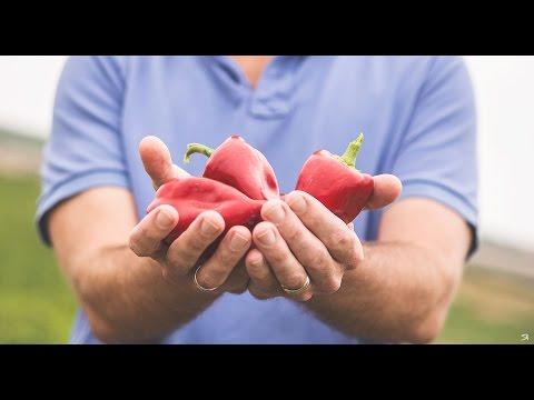 Harvesting Piquillo Peppers In Navarra