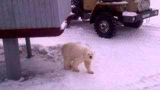 Белый медведь на базе нефтяников