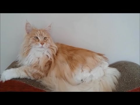Living with a Maine Coon cat