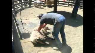 Sheep Gettin' Their Shear On! - Sheep @ San Francisco Zoo