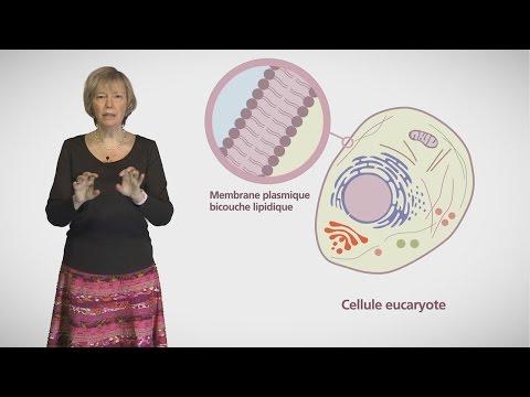 MOOC côté cours : Compartiments et trafic à l'intérieur de la cellule