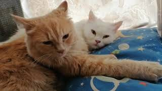 Persian Cats Sleeping /Nice and cosy / My White and Ginger Persian Cat / Turkish Angora Cat / Cute