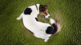 Учёные выяснили причину преследования собаками собственного хвоста