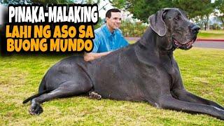 5 PINAKA MALAKING ASO SA BUONG MUNDO | TOP 5 BIGGEST DOG IN THE WORLD
