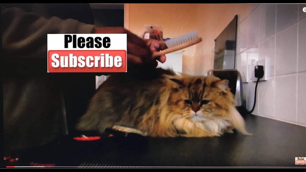 Best brush for persian cat