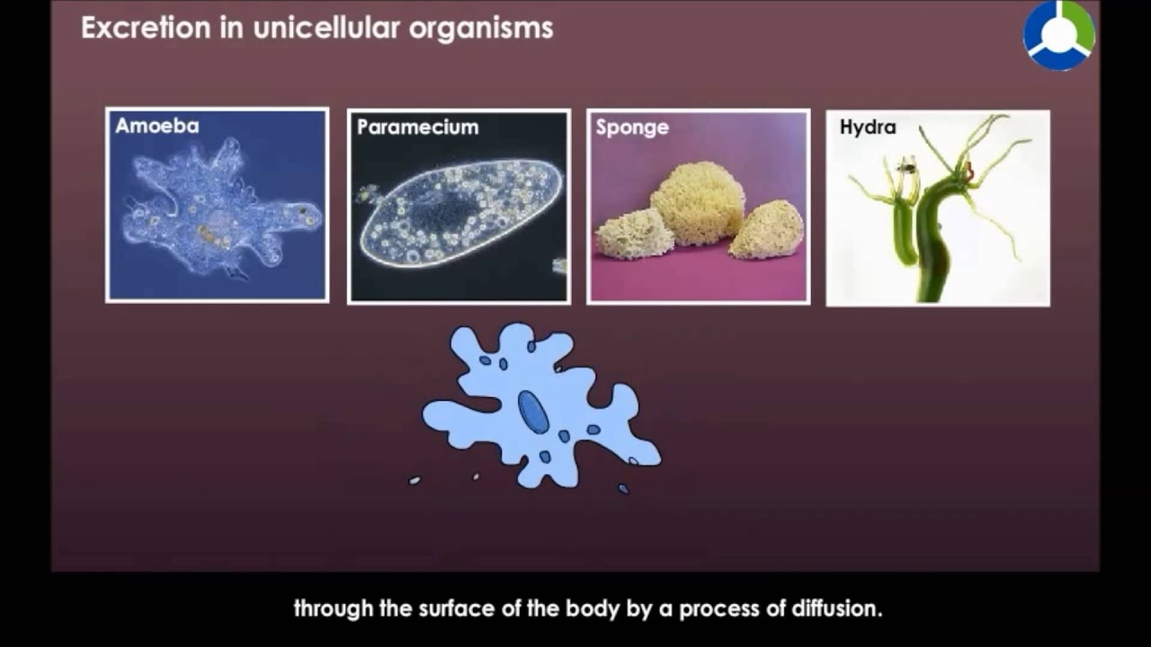 Excretion in Unicellular Organisms - YouTube