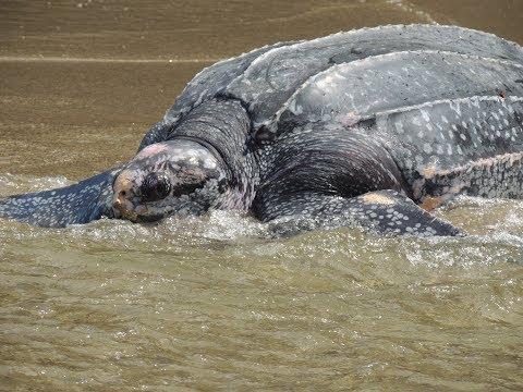 Leatherback turtle returns to the sea