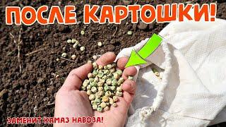 Сейте в августе после картошки этот сидерат!  Он заменит целый камаз навоза! Земля как целина!