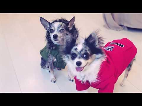Зимняя одежда для собак. Тёплая одежда для Той Терьера.