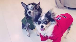 ОДЕЖДА ДЛЯ СОБАК | MUST HAVE НА ОСЕНЬ ЗИМУ | ПОКУПКИ ДЛЯ СОБАК ИЗ ИНТЕРНЕТ МАГАЗИНА(Носки, обувь и одежда для собак: http://www.zoogoods.ru Первый раз одели обувь для собак: https://www.youtube.com/watch?v=-a_7cA1PTgs ↓↓↓..., 2016-09-18T09:15:26.000Z)