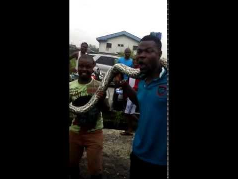 Anaconda snake killed in Nigeria