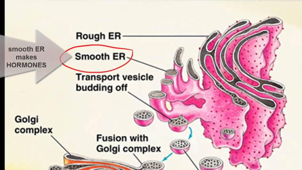 How do organelles work together?