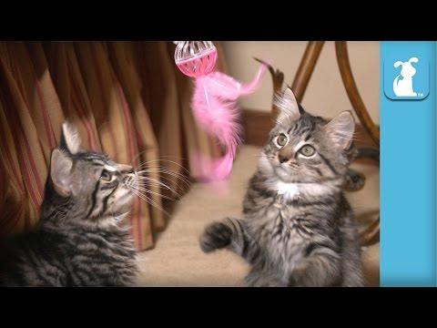 Kitten Steals Jingly Feather Toy - Kitten Love