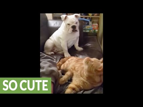 Sulking Bulldog extremely jealous of cat's attention