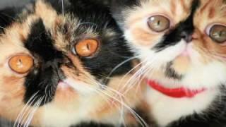 Meme the cat Movie (English ver.) - Very Cute Kawaii Kitten
