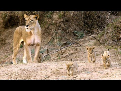 Newborn Lion Cubs Are Introduced to Their Cousins