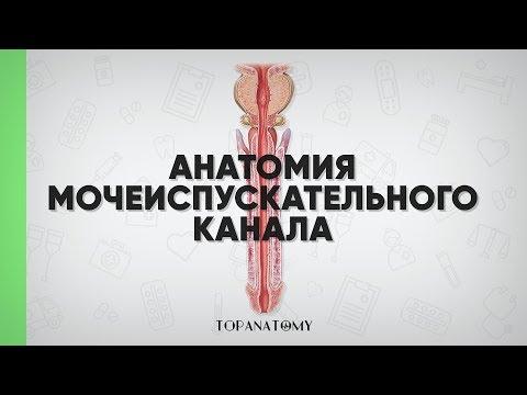 Анатомия мочеиспускательного канала (мужского и женского)