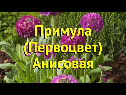 Примула анисовая. Краткий обзор, описание характеристик, где купить Primula Anisodora