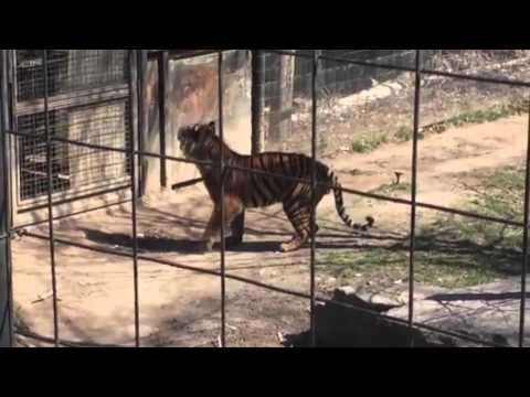 Woman jumps tiger's fence to retrieve hat