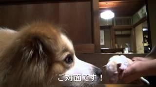 お寺のアイドル犬 ゴンチャンとランちゃんの間にかわいいかわいいあかち...