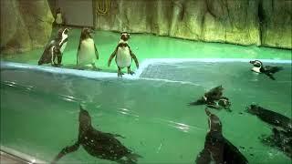 【貴重映像】ペンギンさん大量(^^)(王子動物園)[Precious image] penguin mass (^ ^) (Oji Zoo)