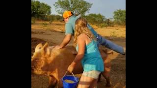 Pig Ride Fail - Man Falls While Trying to Ride a Giant Pig