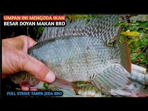 Download RACIKKAN UMPAN IKAN NILA || HASIL TOP MELIMPAH || Mixing the latest tilapia fishing bait