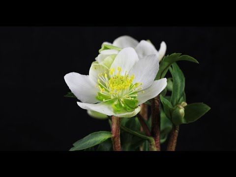 helleborus niger christrose christmas rose youtube. Black Bedroom Furniture Sets. Home Design Ideas
