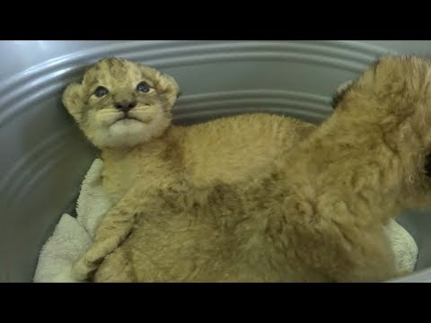 World's first IVF lion cubs bring good news for endangered cats
