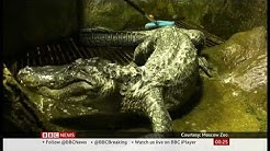 Berlin WW2 bombing survivor Saturn the alligator dies in Moscow Zoo (Russia) - BBC News 24 May 2020