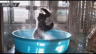 El impresionante baile de un gorila se ...