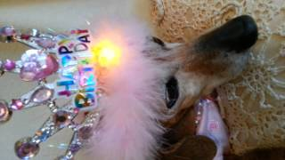 Dachshund Sassy 14th Birthday Blinking Crown