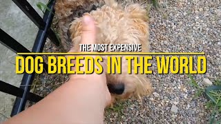 The MOST EXPENSIVE Dog Breeds in the WORLD Today! (FANTASTIC!)
