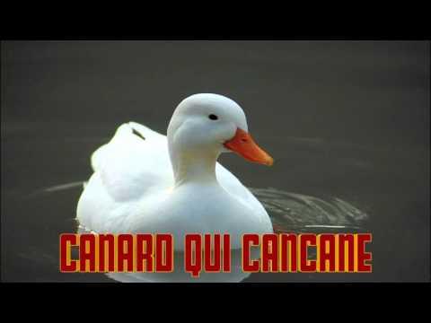 CANARD qui CANCANE le cri du CANARD