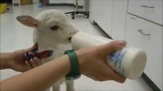 Lambs Take Over Vet Clinic - Day at the vet...