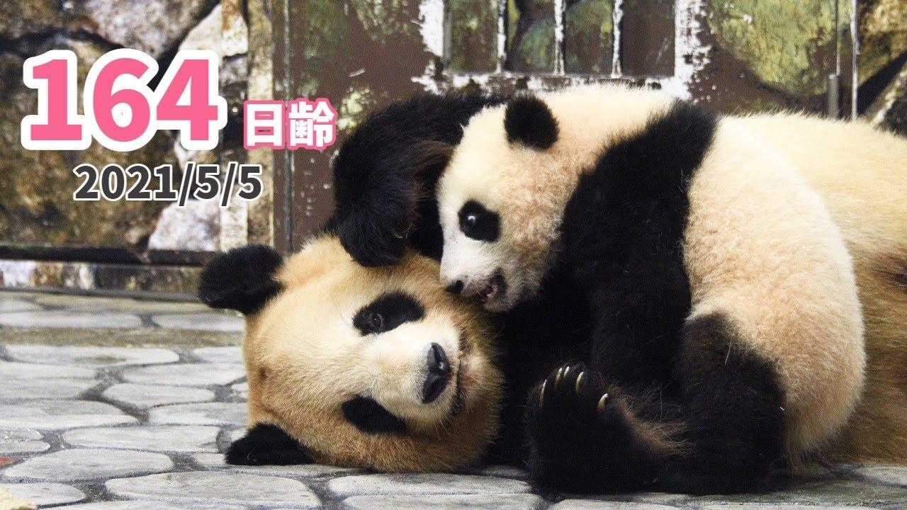 【パンダの赤ちゃん(楓浜)】まったりのんびり親子タイム(164日齢)