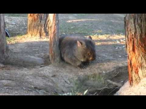Wombat is Super Efficient at Getting His Morning Exercise Done