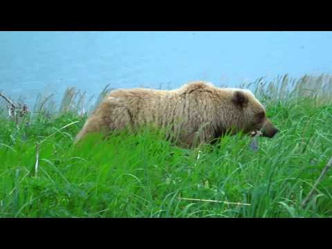 Alaska Brown Bears: Up Close & Personal with AdventureWomen