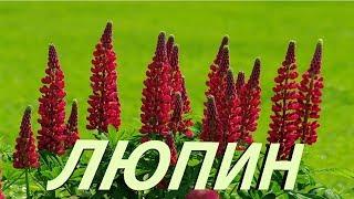 """Люпин. Выращивание из семян. Полезные советы начинающим садоводам. В рубрике """"Дачный визит""""/"""