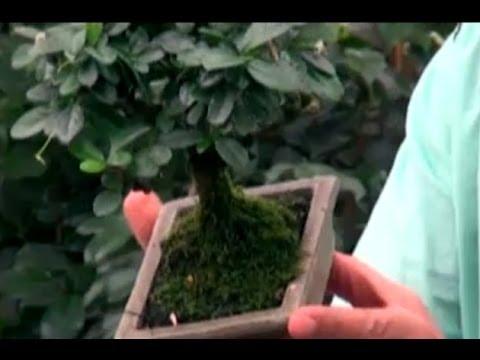 Bonsai Bitkisi - Bonsai Bakımı, Sulaması, Budaması, Yer Seçimi 1. Bölüm