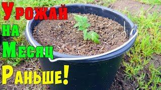 ПОМИДОРЫ В ВЕДРАХ !!! Выращивание томатов в ведрах!!!