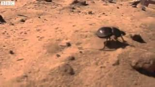 BBC News Dung beetle has new galloping gait