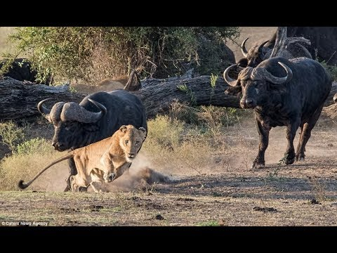 WATCH LION vs BUFFALO REAL FIGHTS   BUFFALO ATTACK LION