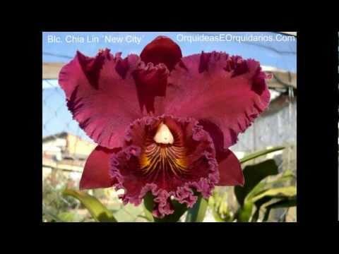 Fotos de Orquídeas com nomes  |  Como cuidar de Orquídeas | Cultivar