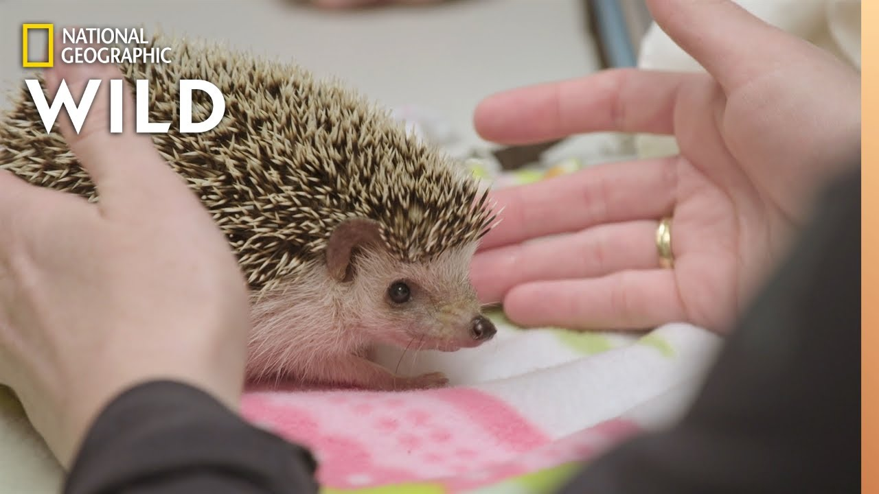A Hedgehog with Abscessed Teeth | Dr. T, Lone Star Vet