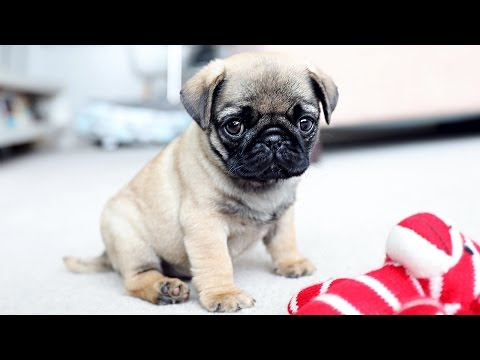 Thumbnail: PICKING UP MY PUG PUPPY!