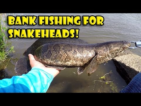 Bank Fishing For Prespawn Northern Snakehead In NJ