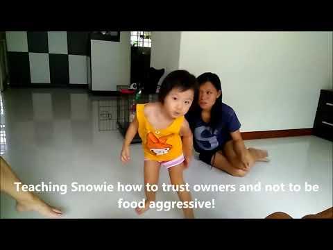 Dog Training Singapore Snowie Japanese Spitz