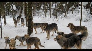 тропа стаи диких собак